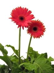 daisiesfromtom0604
